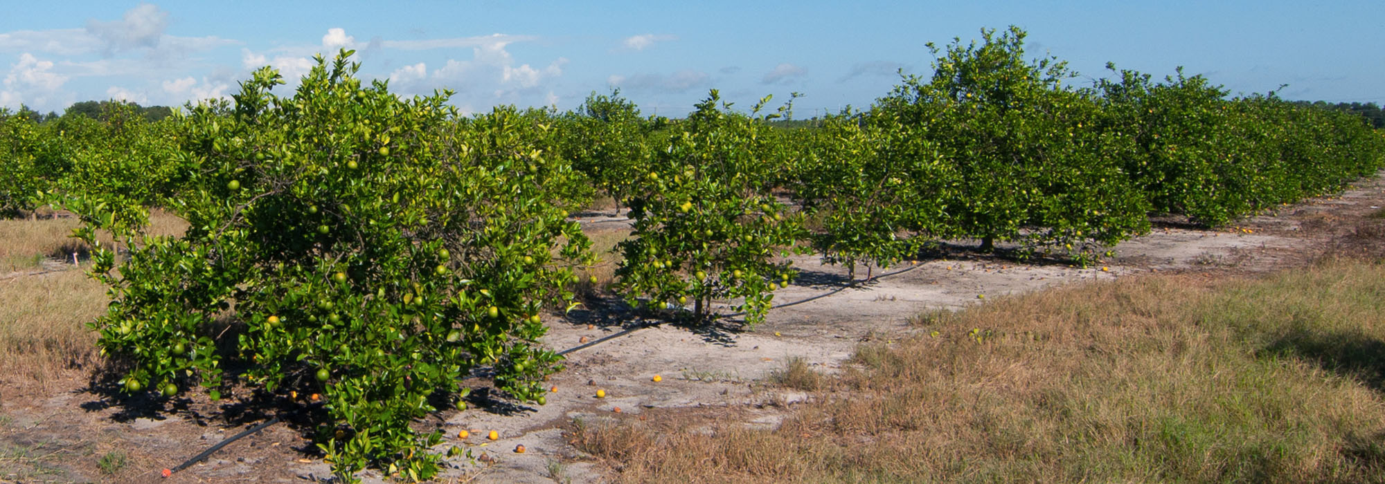 CR 672 Income Producing Citrus Grove 36 Acres in Lithia, FL